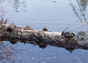 Photo: Bullfrogs at Coon Lake by James Hamaker